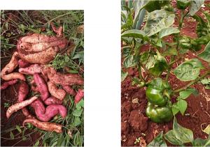 Orange Fleshed Sweet Potatoes (OFSP) Pili pili hoho (Capsicum)